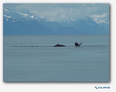 Humpback Whales, near Junea Alaska